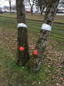 49 zum Teil sehr alte Bäume sind bereits zum Fällen markiert.
